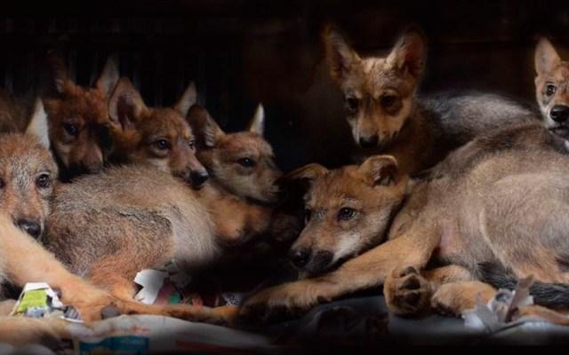 Sobreviven lobos mexicanos y nacen ocho crías en zoológico - Foto de @SEDEMA_CDMX