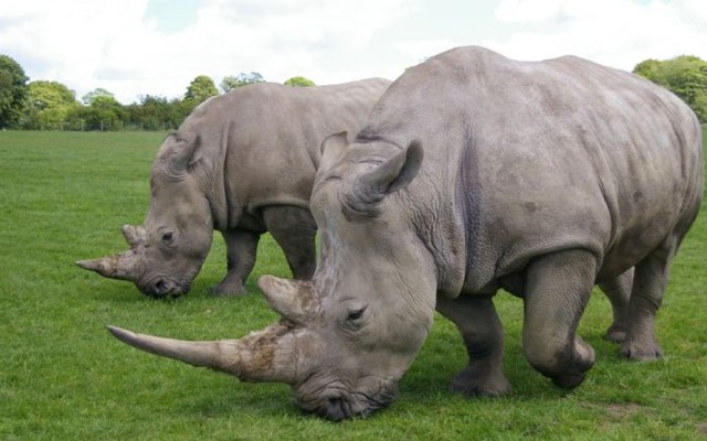 Científicos crean embriones híbridos de rinoceronte blanco