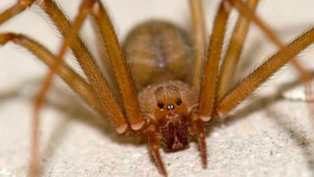 Alertan por arañas violinistas debido a las bajas temperaturas - Foto de Internet