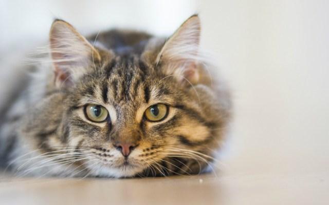 Estos son 10 datos que no sabías de tu gato - Foto de Internet