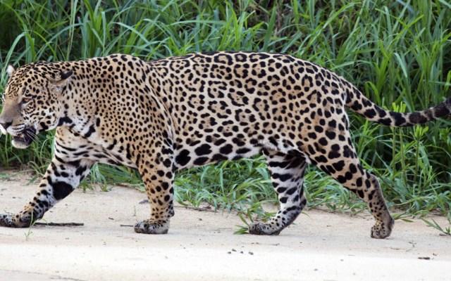 Profepa alerta por avistamiento de jaguar en Playa del Carmen - Foto de internet