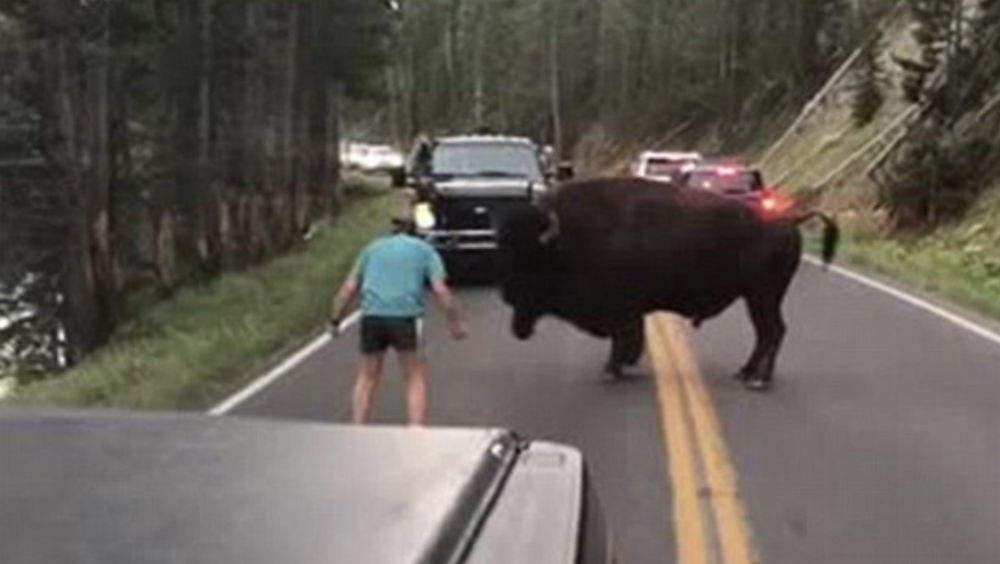 Hombre provoca a bisonte en Yellowstone — Indignación viral