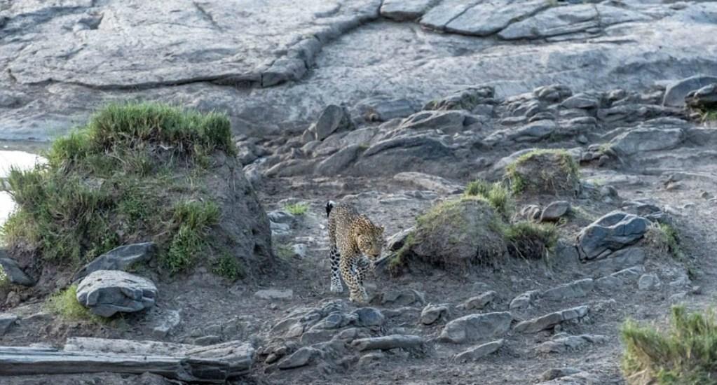 #RetoViral Descubre el leopardo oculto en el paisaje - Foto de internet