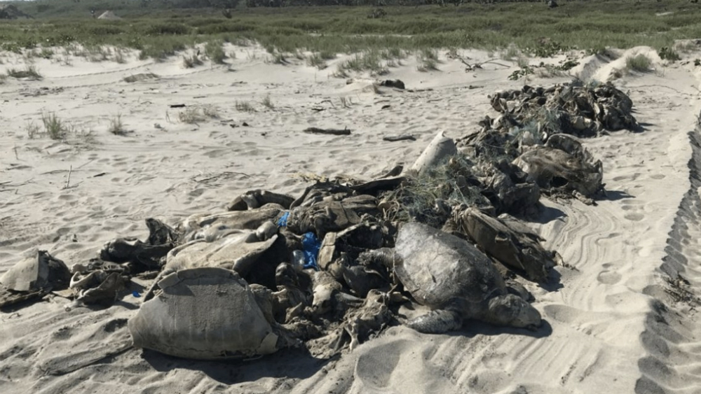 Profepa y Marina investigan muerte de tortugas en Guerrero - Foto de @Notimex