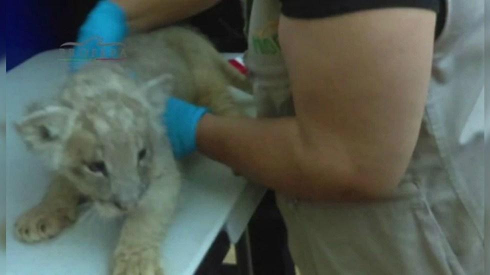 Aseguran a cachorro de león en Aeropuerto de Tijuana - León asegurado en aeropuerto de Tijuana