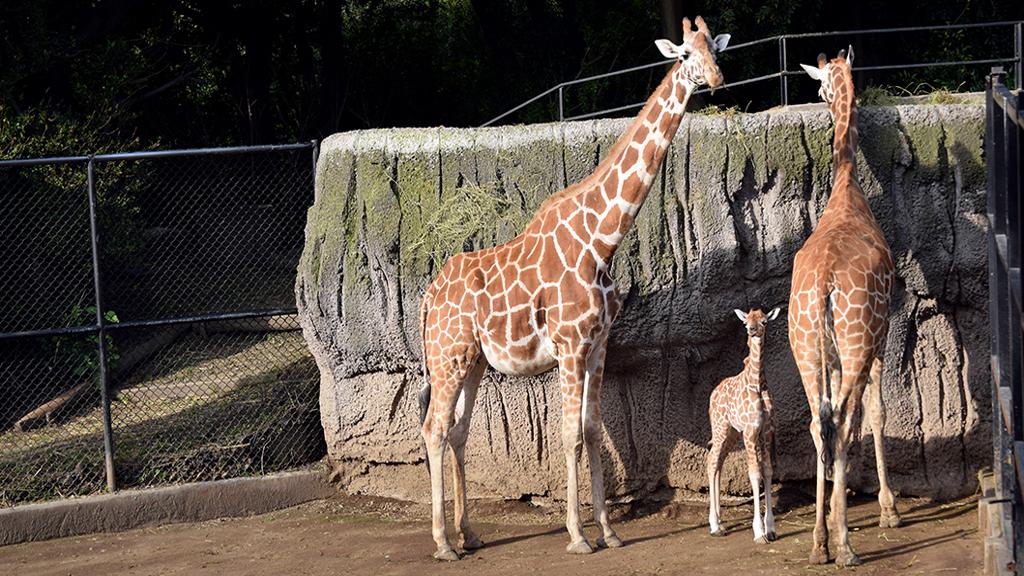 La nueva jirafa es hija de Chacho y Kenia. Foto de Sedema