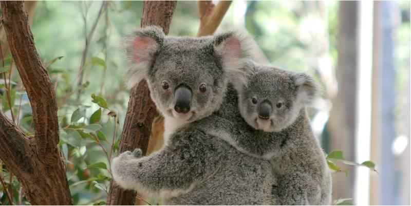 8 datos que probablemente no sabías de los koalas - Foto: emssound.net