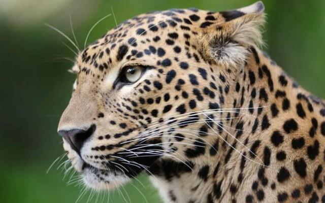 Datos que debes saber sobre los leopardos - Foto de Internet
