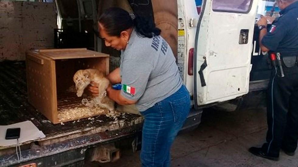 Aseguran un tigre de bengala y ocho cocodrilos de pantano en Tijuana - Foto de @PROFEPA_Mx