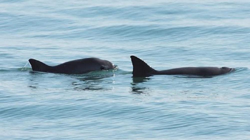 Inscriben como patrimonio en peligro el hábitat de la vaquita marina - Avistamiento de vaquita marina con su cría. Foto de @IEcologiaUNAM