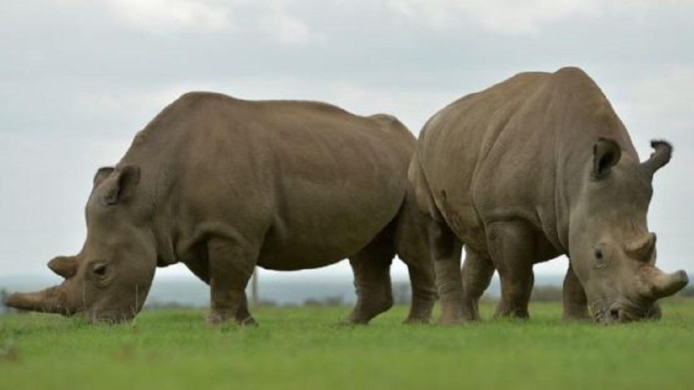 Najin y Fatu, hembras del rinoceronte blanco del norte. Foto de Getty Images
