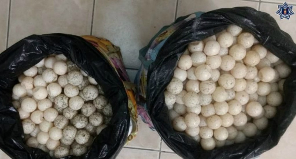 Detienen a mujer con dos mil huevos de tortuga en Oaxaca. Noticias en tiempo real