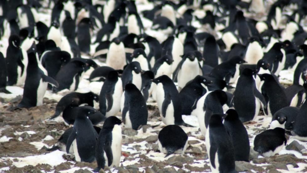 Hallan colonia de 1.5 millones de pingüinos en la Antártida - Foto de Northwest University