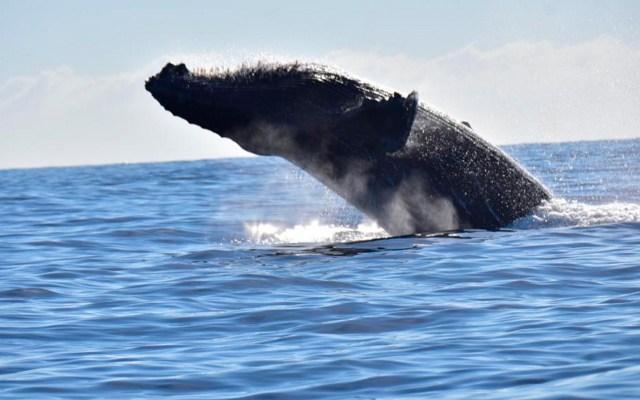 """Malas prácticas en el """"ecoturismo"""" están afectando a las ballenas: UNAM - Inicia temporada de avistamiento de ballenas"""
