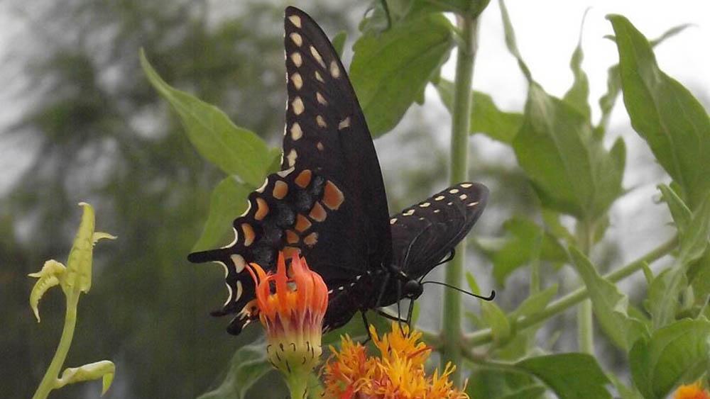 El Centro Nacional de Mariposas de Texas alberga a más de 200 especies. Foto de @natbutterflies