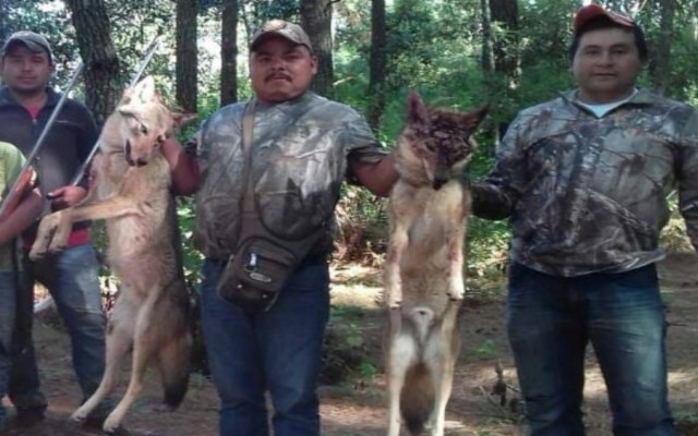 Exhiben a regidor de Áporo, Michoacán, tras cazar lobos - Foto de Facebook