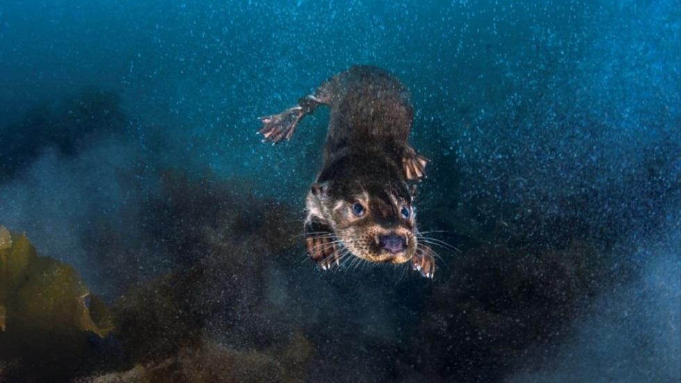 Nutria zambulléndose en el mar frente a las islas Shetland de Escocia. Foto de Greg Lecoeur