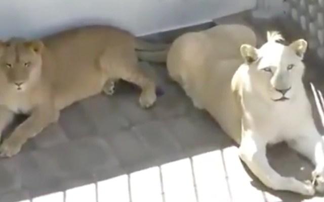 Profepa asegura a leones que vivían en azotea en Iztacalco