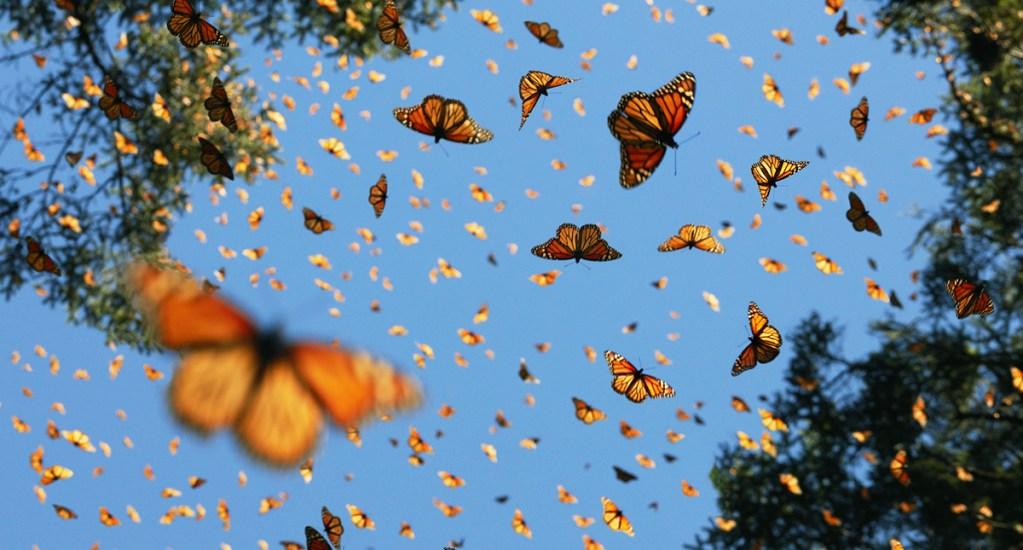 Insectos se extinguen a un ritmo de 2.5 por ciento - Las mariposas son los insectos en mayor peligro de extinción. Foto de Tim Flach