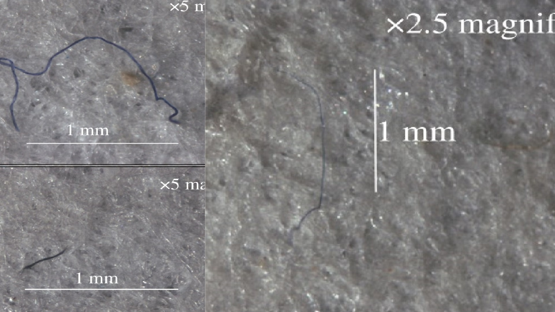 Ejemplos de microfibras encontrados dentro de muestras de anfípodo de intestino posterior, en la Fosa de Mariana. Foto de royalsocietypublishing.org