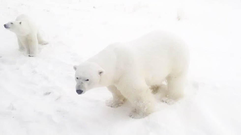 Osos polares en zona urbana de Belushya Guba. Foto de Daily Mail