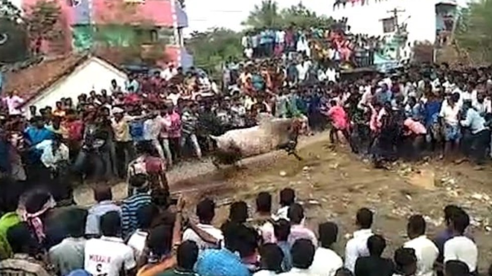 #Video Toro embiste a multitud durante celebración religiosa en India - Foto de Viral Press