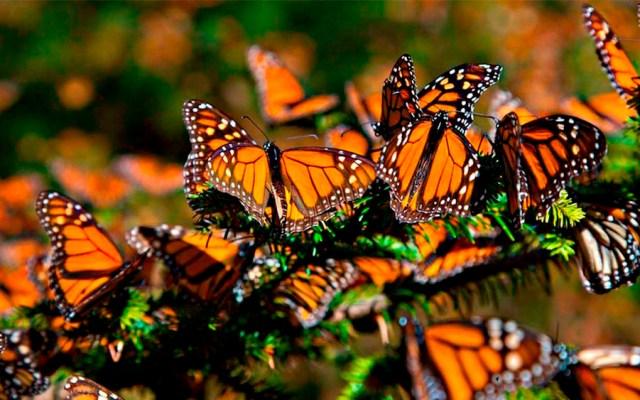 Alertan por riesgo de migración de las mariposas Monarca - Foto de UNAM