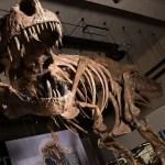 Descubren el Tiranosaurio Rex más grande de la historia - Foto de Amanda Kelley