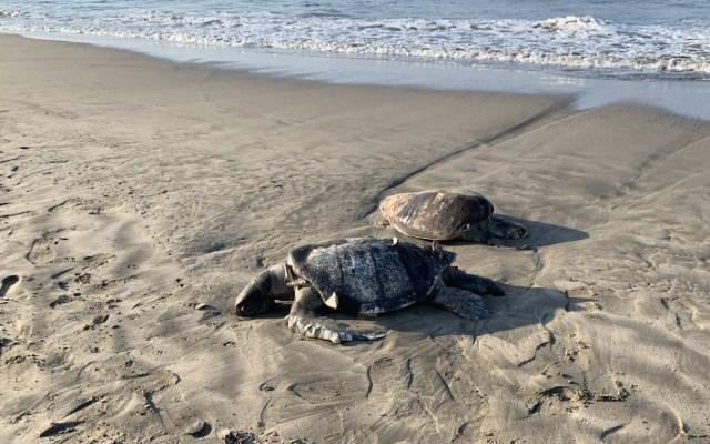 Mueren 69 tortugas y un delfín en playas de Guerrero - tortugas muertas guerrero