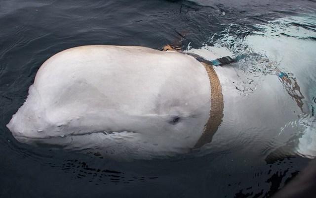 #Video Hallan a beluga supuestamente de la armada rusa - Beluga con arnés en aguas de Noruega. Foto de @fiskeridirektoratet