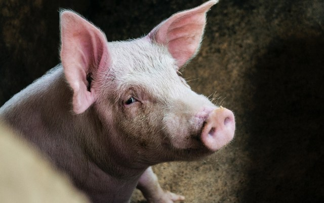Reactivan cerebros de cerdos tras cuatro horas de muertos - Cerdo. Foto de Phoenix Han / Unsplash