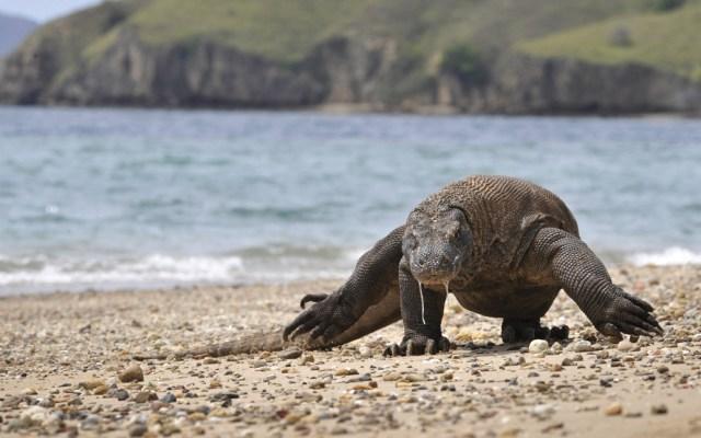 Prohibirían visitas a la isla de Komodo para evitar robo de dragones - Foto de AFP