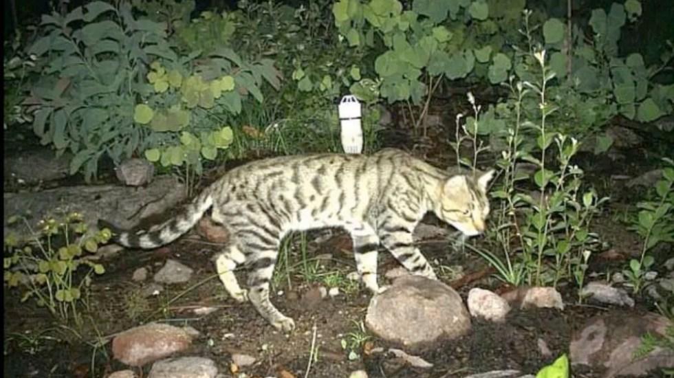 La razón por la que Australia matará a dos millones de gatos - gatos salvajes australia