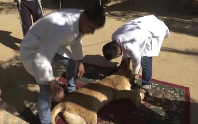 #Video Extirpan garras a leona para que pueda jugar con niños en Gaza - Captura de pantalla