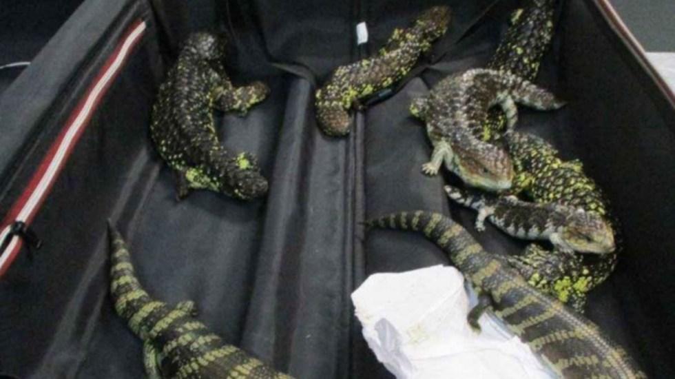 Arrestan en Australia a mujer japonesa por contrabando de reptiles - detienen a japonesa por contrabando de reptiles australia