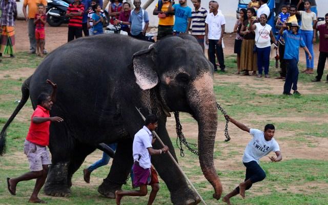 Año Nuevo cingalés en Sri Lanka - Mahouts de Sri Lanka conducen a elefante durante un festival tradicional para conmemorar Año Nuevo cingalés y tamil en Colombo. El año nuevo, marcado tanto por la mayoría de la población cingalés como por la minoría tamil, cayó el 14 de abril de este año. Foto de LAKRUWAN WANNIARACHCHI / AFP.