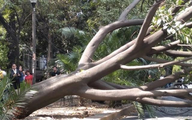 Árbol cae en la colonia Condesa - árbol en la condesa
