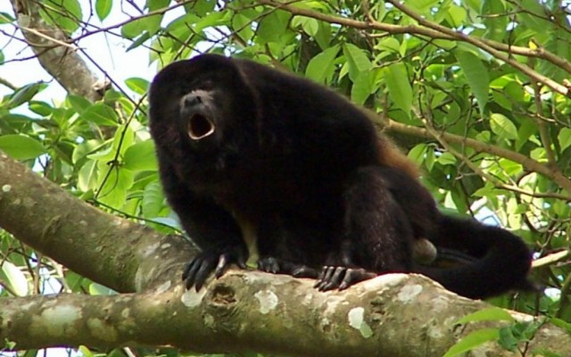 Sequía mata a monos aulladores en Veracruz - Mono aullador. Foto de QS Noticias