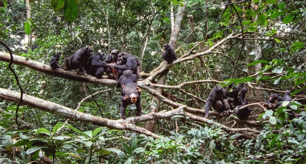 Primatólogos critican que deforestación y caza aislen a chimpancés - Chimpancés comiendo tras cazar. Foto de Roman M. Wittig / Taï Chimpanzee Project