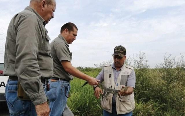 Reintegran a su hábitat a tres cocodrilos en Tamaulipas - Foto de Profepa