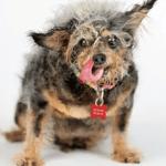 Scamp se corona como el perro más feo del mundo 2019 - Foto de World's Ugliest Dog Contest