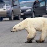 Capturan a osa polar que deambuló por ciudad rusa