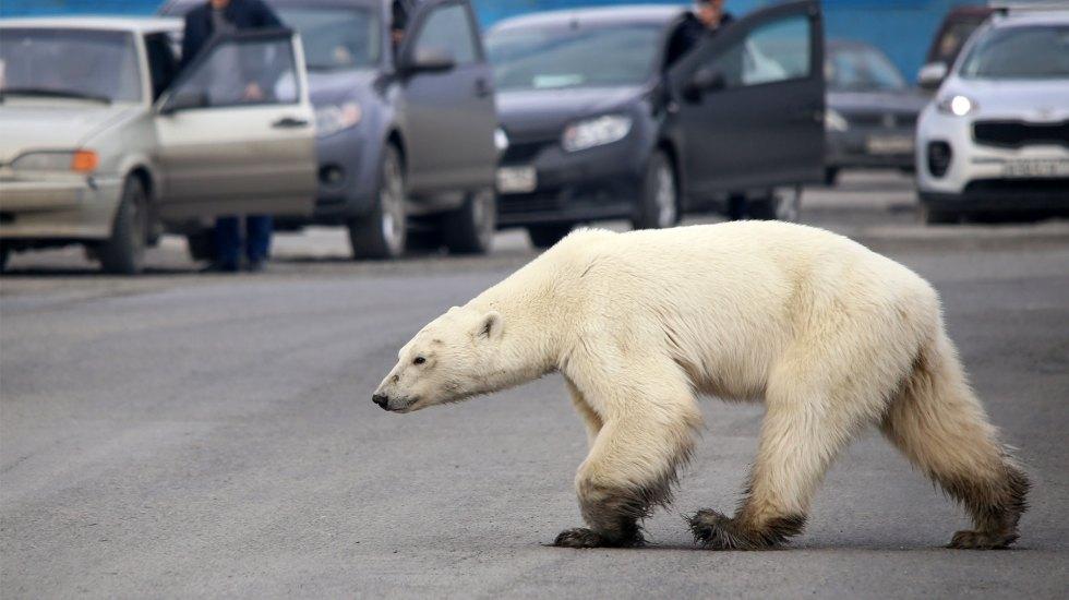 Capturan a osa polar que deambuló por ciudad rusa - Foto de AFP / Irina Yarinskaya / Zapolyarnaya Pravda