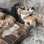#Video Rescatan a perros que iban a ser cocinados en festival en China