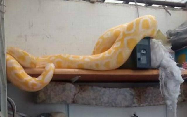 Aseguran serpiente de cuatro metros en Puebla - Foto de El Sol de Puebla