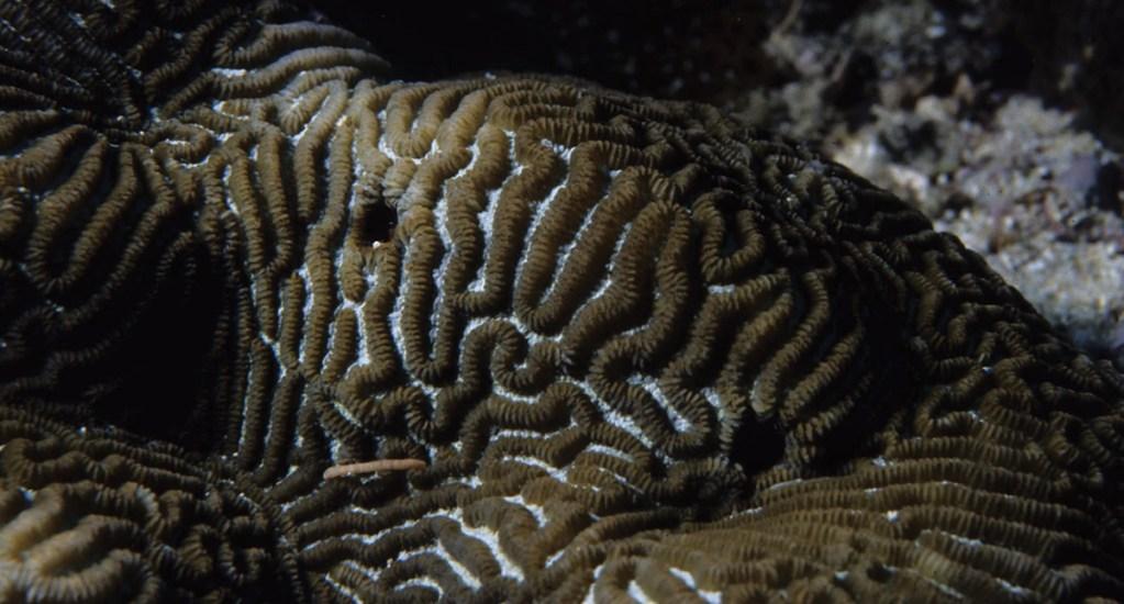 Enfermedad de corales afecta arrecifes de Quintana Roo, Yucatán y Belice. Noticias en tiempo real