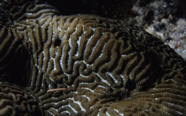 Enfermedad de corales afecta arrecifes de Quintana Roo, Yucatán y Belice - Foto de NOAA