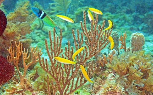Científicos descubren mecanismo de cambio de sexo en los peces - Fotografía cedida por Kevin Bryant kevin de la Universidad de Otago, en Nueva Zelanda, donde aparece un pez macho mientras defiende a un grupo de hembras, una de las cuales eventualmente cambiará de sexo para reemplazarlo. Foto de EFE