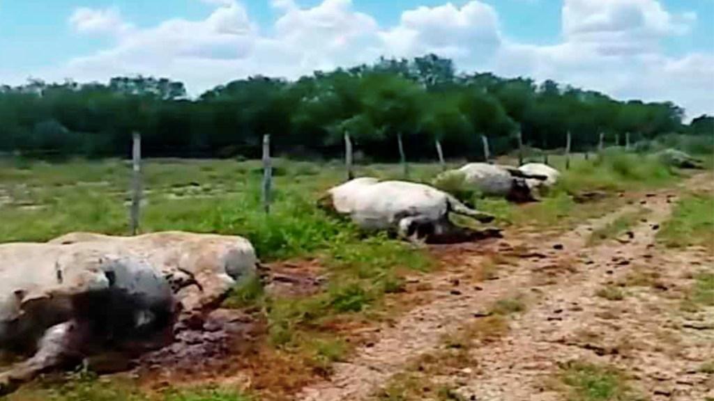 Rayo mata a 13 vacas en rancho de Nuevo León - rayo mata a vacas en rancho en nuevo león