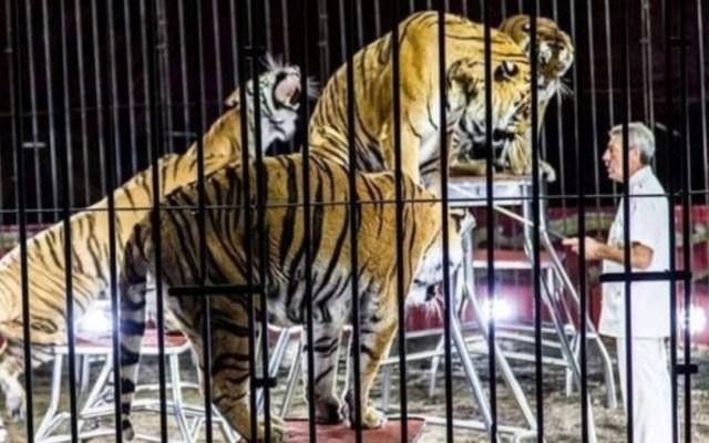 Tigres atacan y matan a entrenador en Italia - tigres entrenador italia